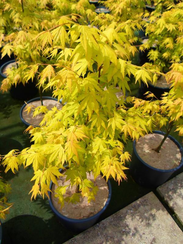 Zini piante vivai piante pepinieres baumschuler nurseries pistoia - Erable du japon orange dream ...