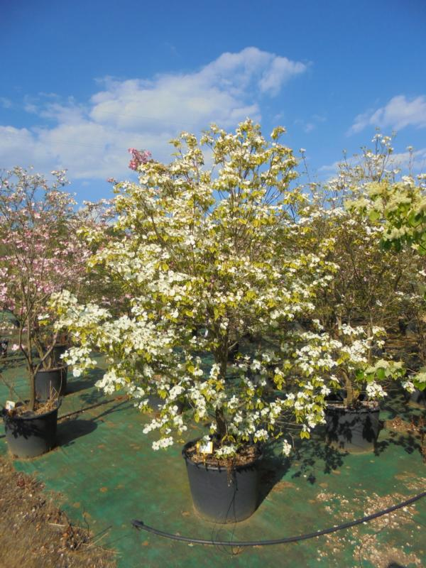 Zini piante vivai piante pepinieres baumschuler nurseries - Cornus florida rainbow ...