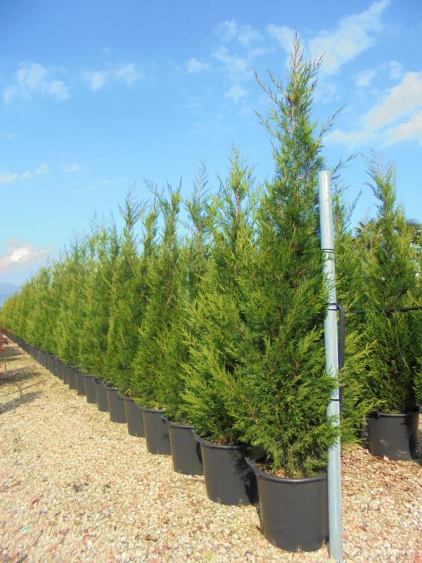 Zini piante vivai piante pepinieres baumschuler nurseries - Plantation cypres de leyland ...