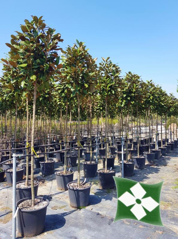 Zini piante vivai piante pepinieres baumschuler nurseries pistoia - Arbre ornemental feuillage persistant ...
