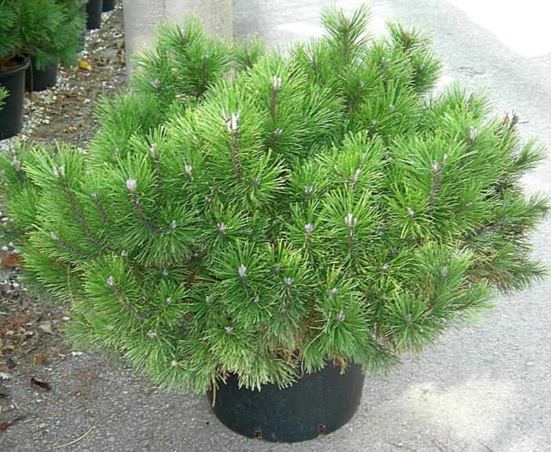 Pinus Mugo U0027Mughusu0027 ...