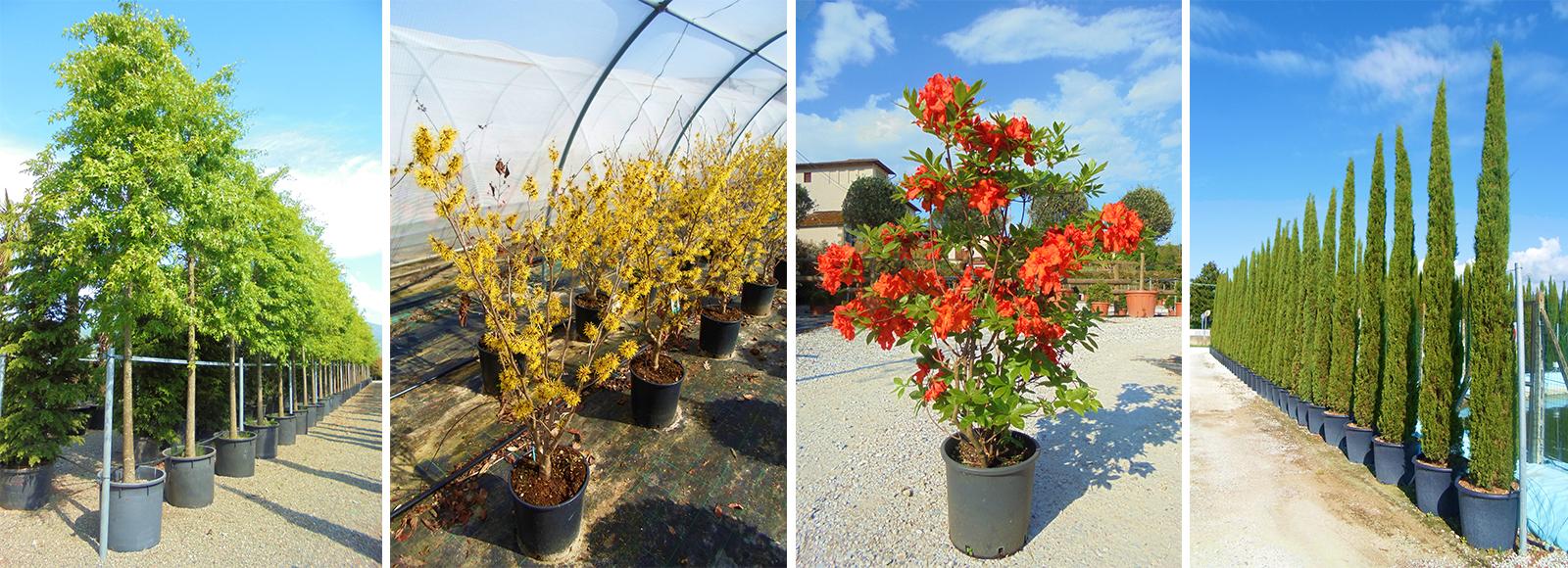Zini piante vivai piante pepinieres baumschuler nurseries for Vivai a pistoia